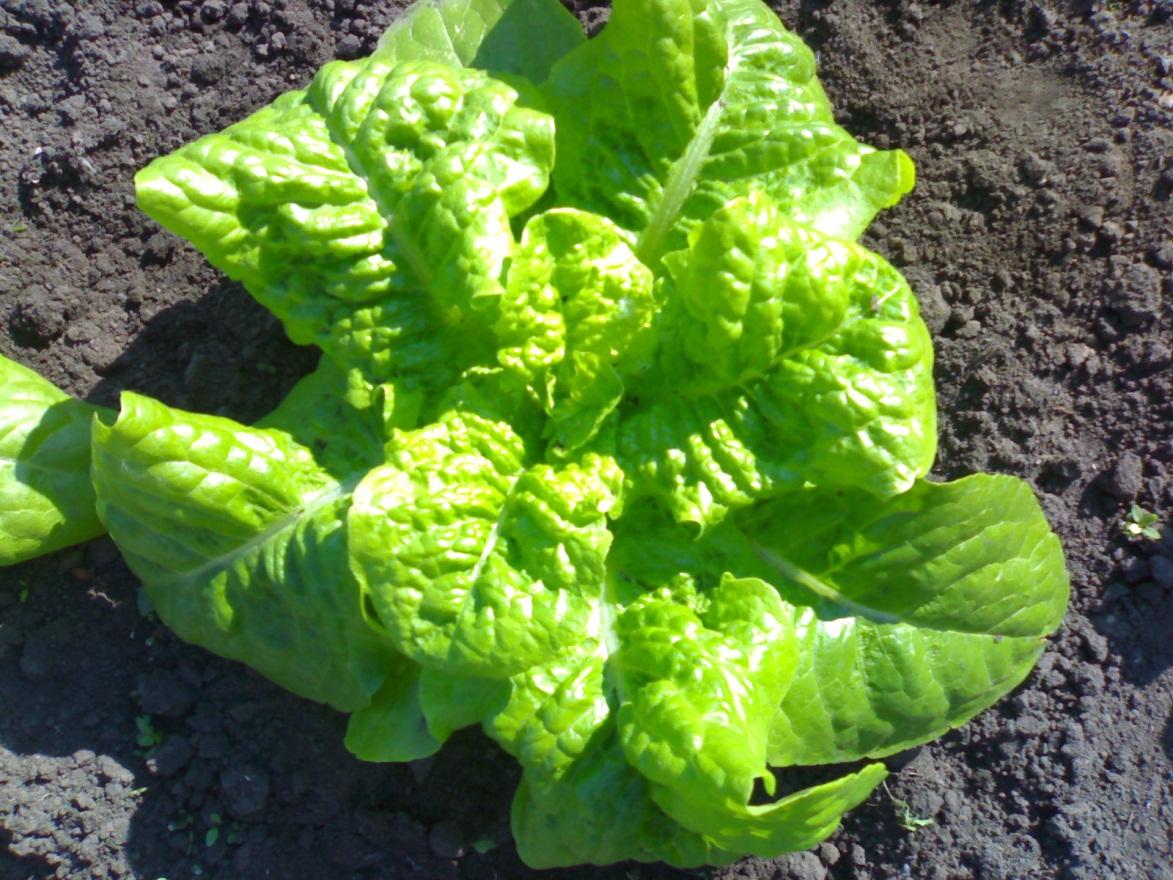 Салат латук листовой - особенности культивации на своем огороде
