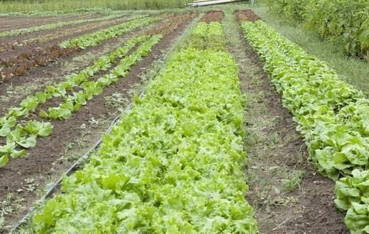Салат латук листовой - полезные свойства растения