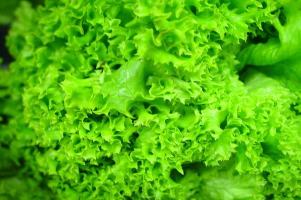 Салат латук листовой - свежая полезная зелень на даче
