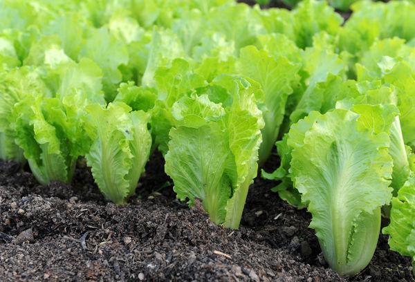 Салат латук листовой выращивание на грядке