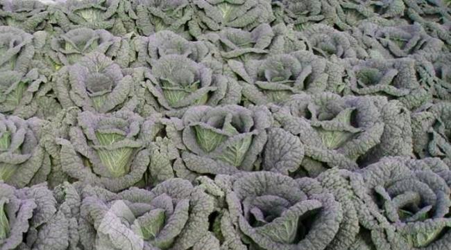 Савойская капуста выращивание на дачном участке