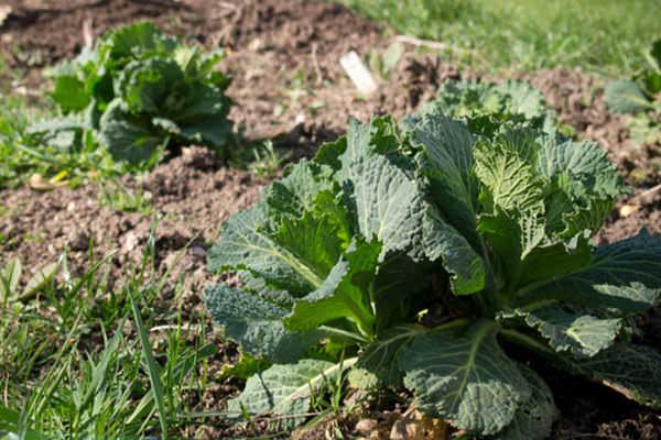 Савойская капуста выращивание, посадка и уход за растением