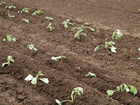 Савойская капуста выращивание рассадным способом