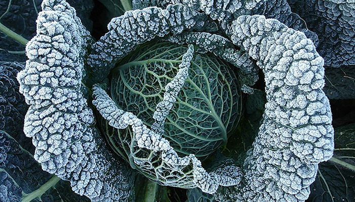 Савойская капуста выращивание, сбор и хранение урожая