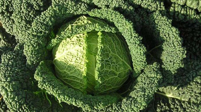 Савойская капуста выращивание - секреты опытных дачников