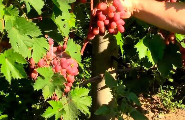 Сладкие ароматные ягоды винограда сорта Виктория