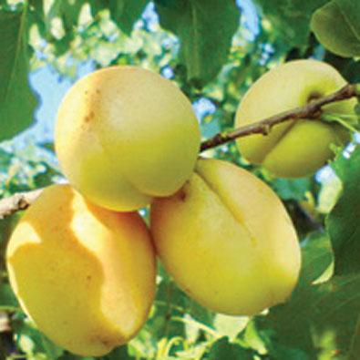 Сочные ароматные плоды абрикоса ананасного