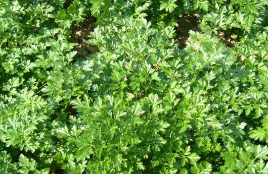 Сорт листовой среднеспелой петрушки Бриз