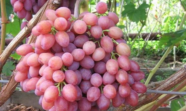 Сорт винограда Кардинал анапский - культивация на даче