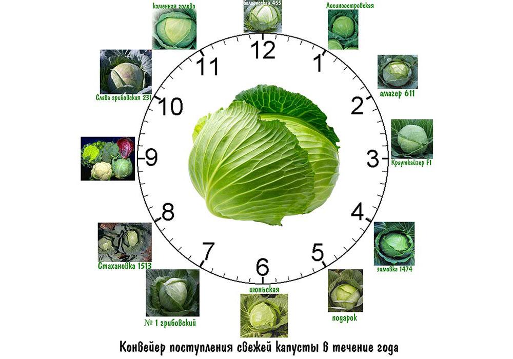 Сорта капусты белокочанной - свежие овощи в течении года