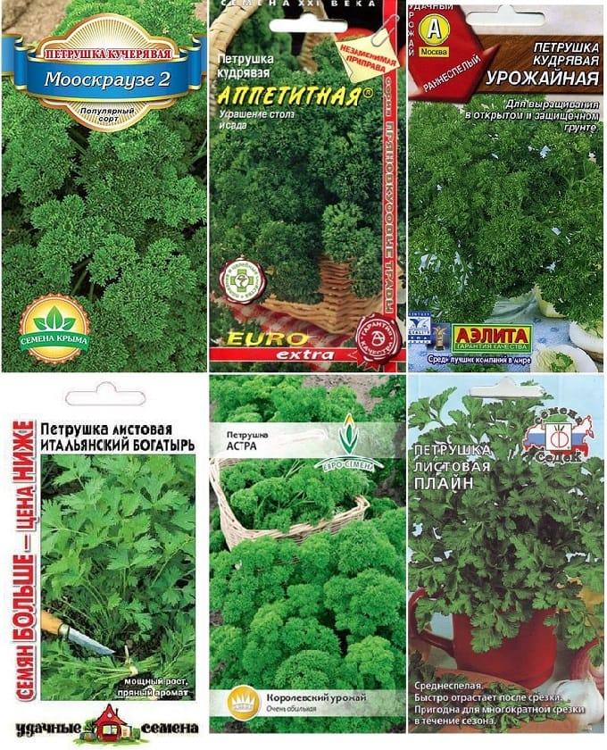 Сорта листовой петрушки - какие семена выбрать для посадки на даче