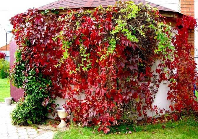 Украшение территории дворика с помощью лиан декоративного винограда
