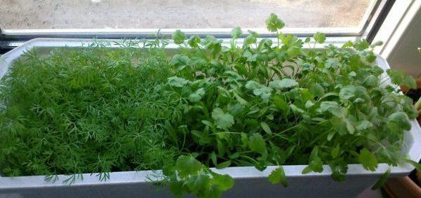 Укроп и петрушка выращивание на подоконнике