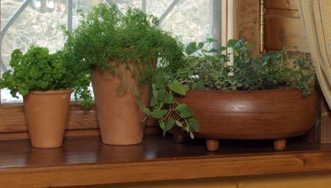 Укроп на подоконнике - особенности ухода за зеленью
