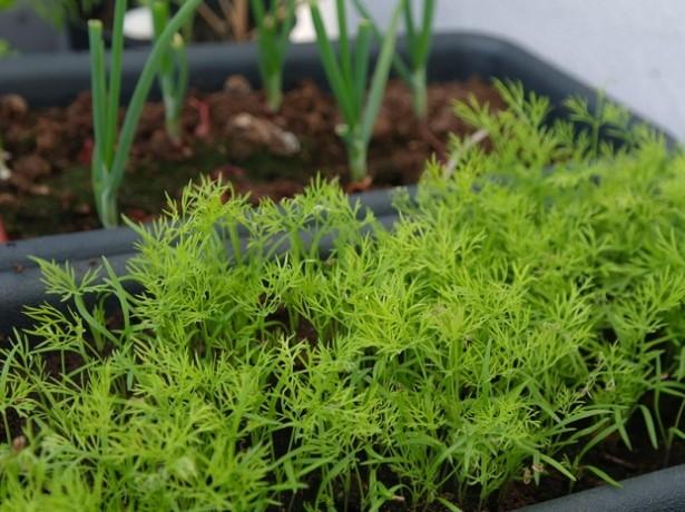 Укроп на подоконнике - свежая зелень круглый год