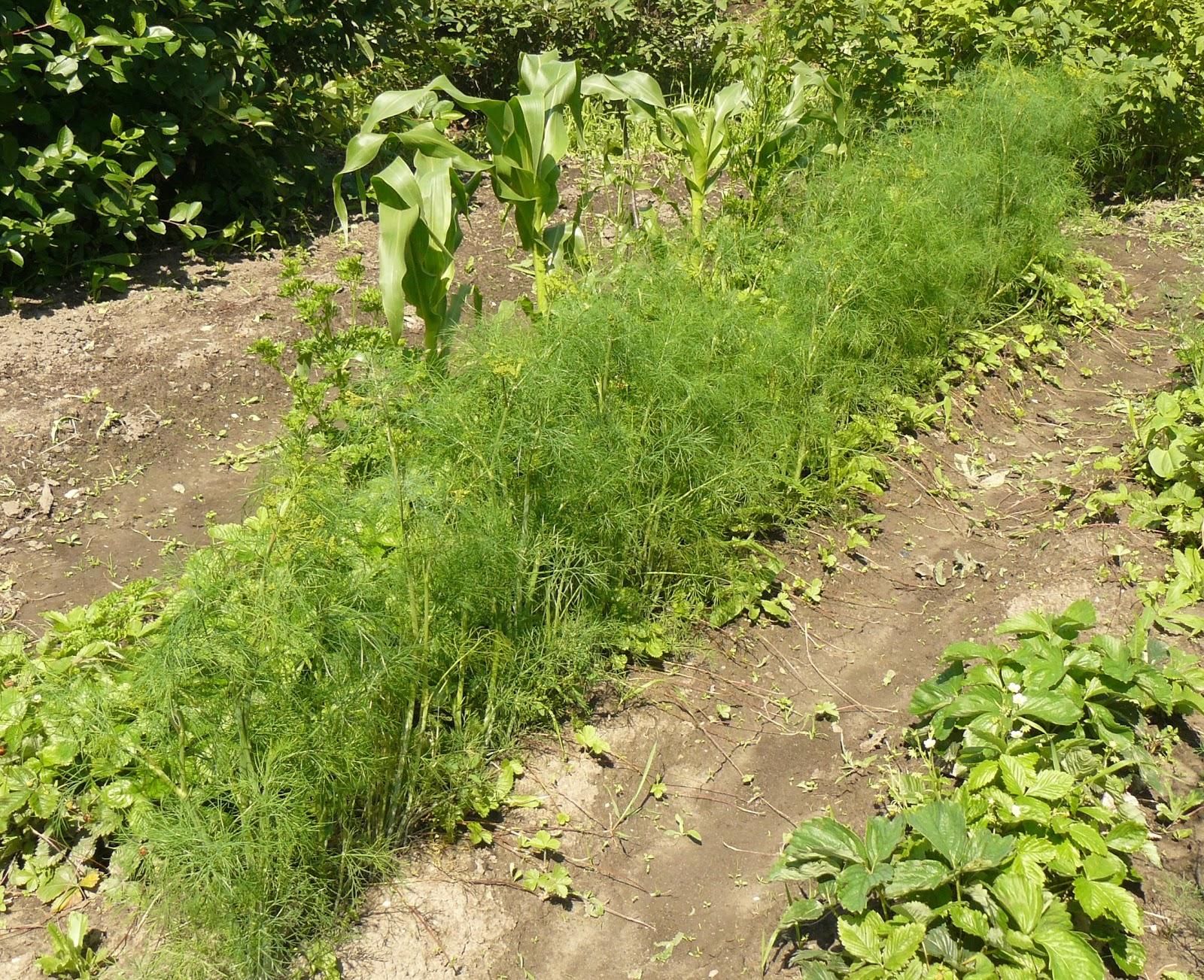 Укроп выращивание и уход в открытом грунте - лучшие предшественники на грядке