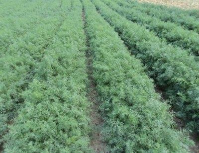 Укроп выращивание и уход в открытом грунте - молодые всходы