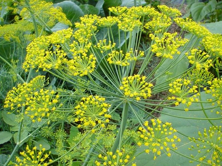 Укроп выращивание и уход за зонтичными культурами в открытом грунте