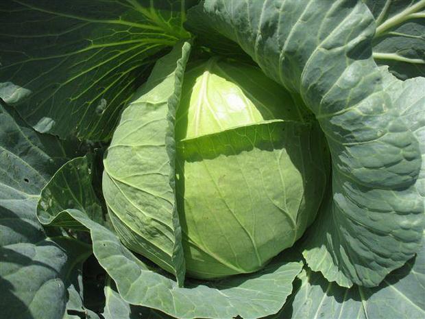 Ультраранний сорт капусты белокочанной Казачок F1
