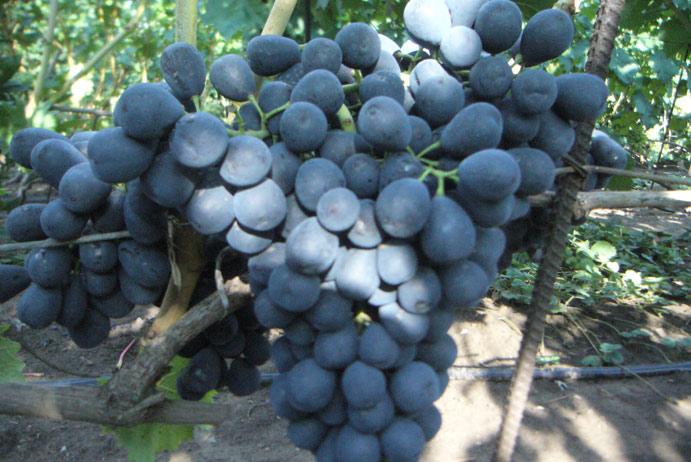Урожайный ароматный виноград Зилга