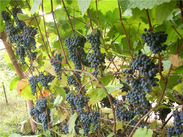Урожайный виноград Амурский устойчивый к низким температурам