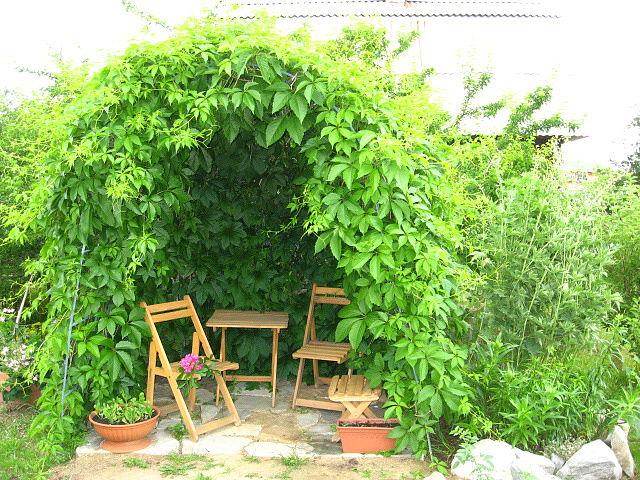 Уютная летняя беседка из декоративного винограда на даче