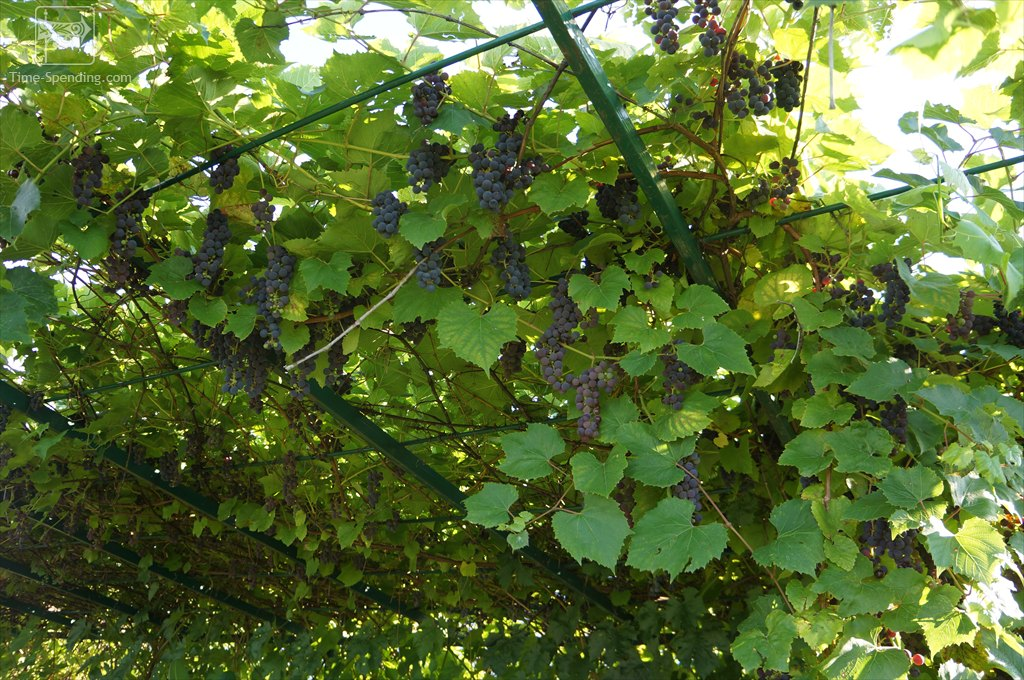 Виноград Альфа для декора дачного навеса