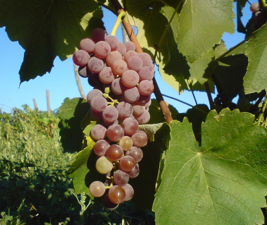 Виноград Альфа - идеальный опылитель