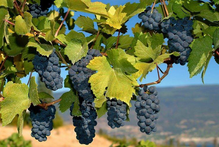 Виноград Альфа - мероприятия по уходу