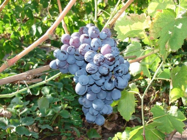 Виноград Альфа описание и особенности сорта