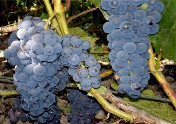 Виноград Альфа среднего периода созревания