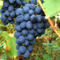 Виноград Альфа уход за культурой