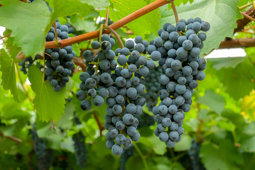 Виноград Амурский посадка и уход за растением