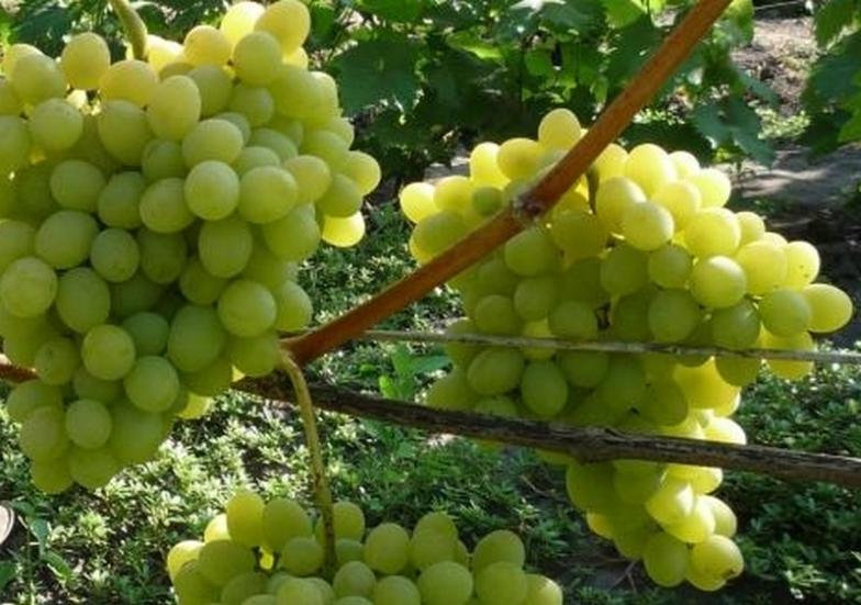 Виноград Августин как вырастить культуру на садовом участке