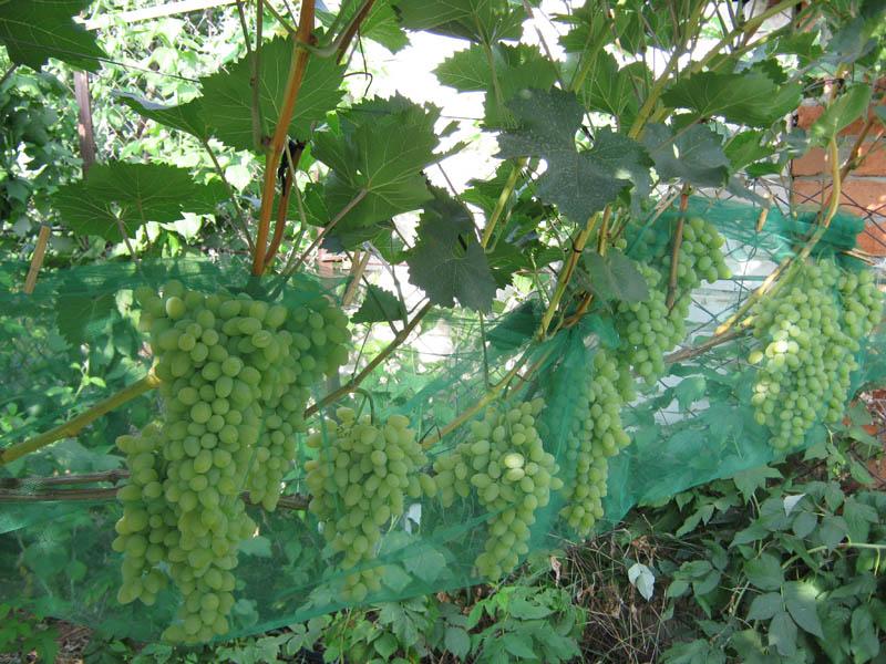 Виноград Августин причины горошения плодов