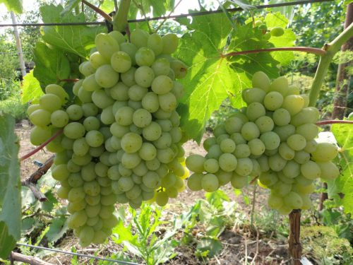 Виноград Гарольд белый сорт ароматной культуры