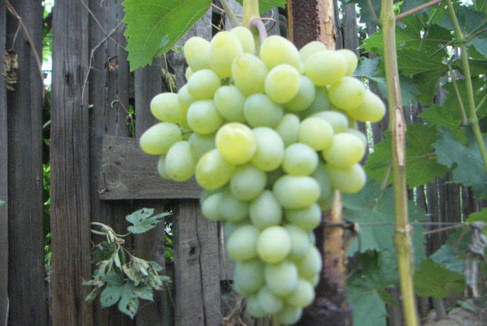 Виноград Гарольд как получить обильный урожай на даче