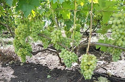 Виноград Гарольд преимущества выбора сорта для культивации
