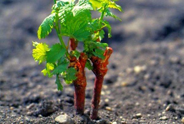 Виноград Кардинал как посадить культуру черенками