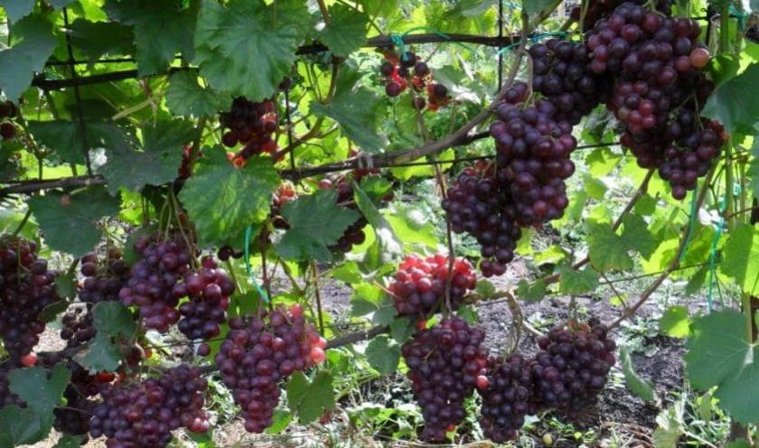 Виноград Кардинал кустарниковая лиана для декора и культивации