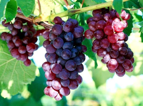 Виноград Кардинал описание и достоинства сорта
