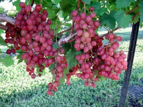 Виноград Виктория розовый как получить здоровый урожай