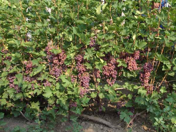 Виноград Виктория уход за кустарниковой лианой