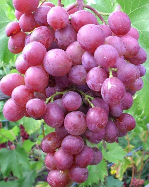 Виноград Виктория устойчивый к болезням и холодам