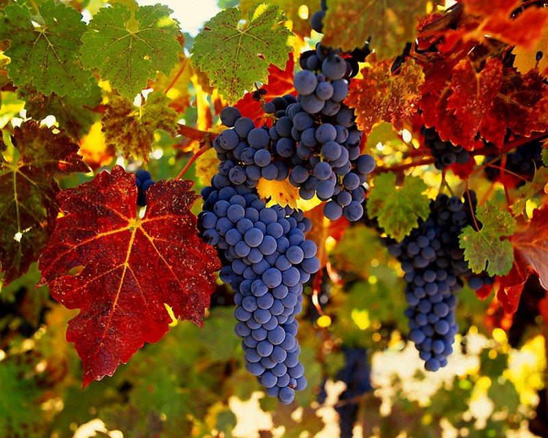Виноград сорта Амурский Далневосточный
