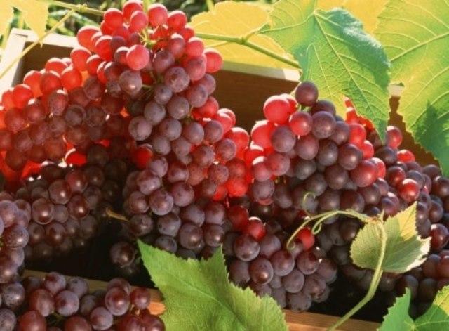 Виноград сорта Амурский Прорыв