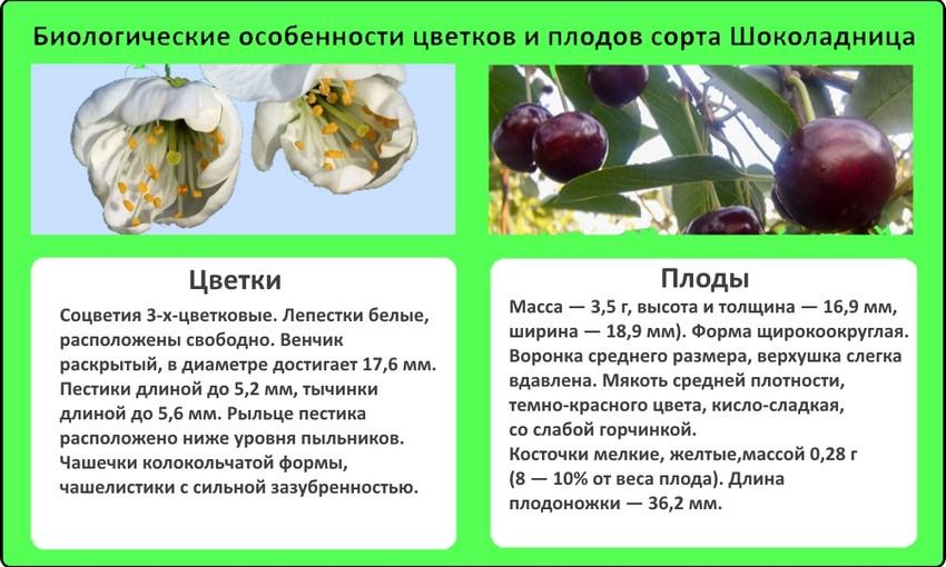 Вишня Шоколадница - биологические особенности цветков и плодов