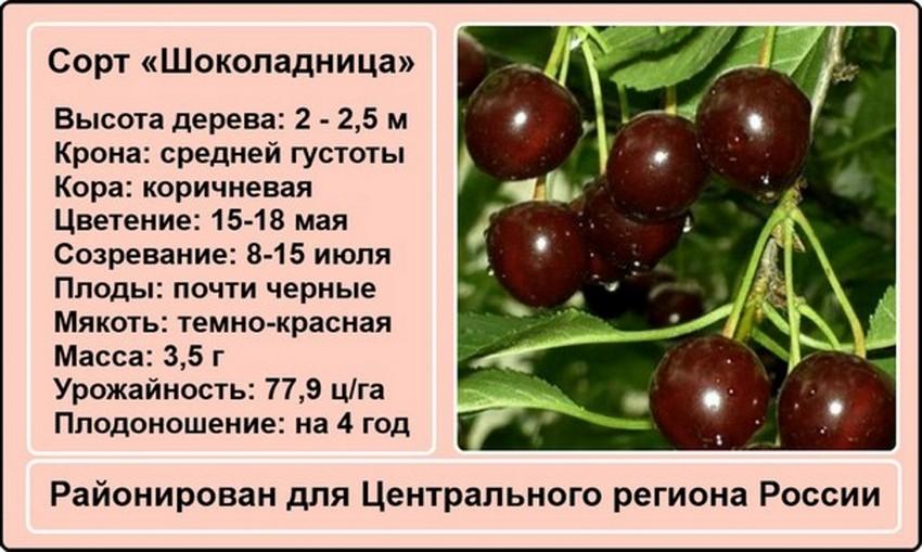 Вишня Шоколадница для культивирования в центральных регионах России