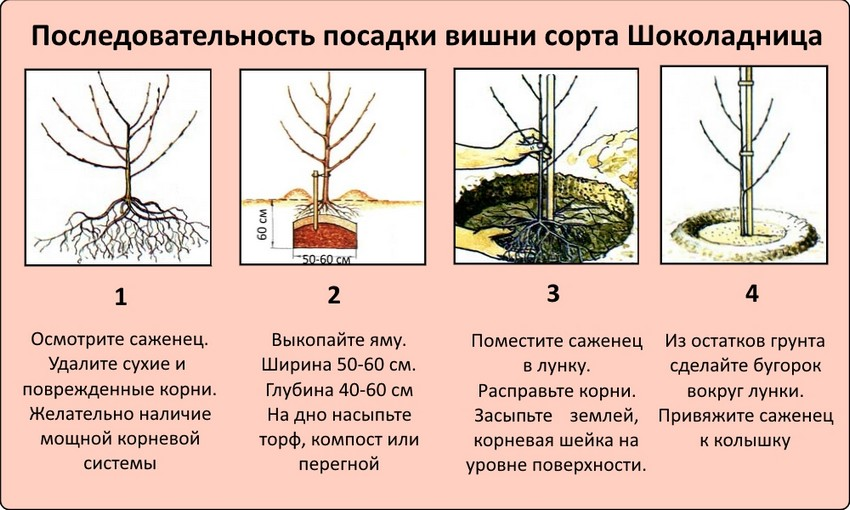 Вишня Шоколадница - пошаговая инструкция посадки дерева