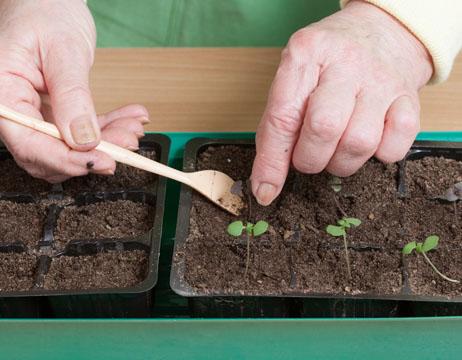 Мастер-класс Выращивание базилика рассадой